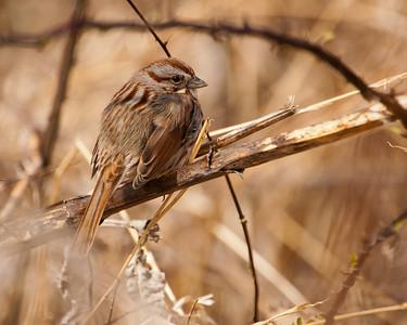 Song Sparrow 6031