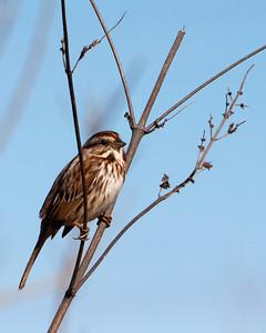 Song Sparrow 0539