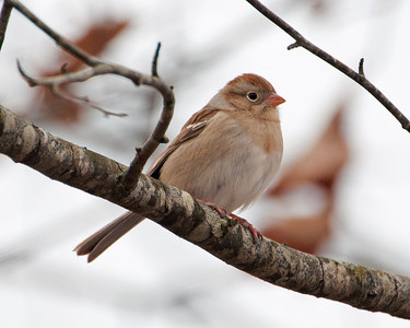 Field Sparrow (Rufous) C1235