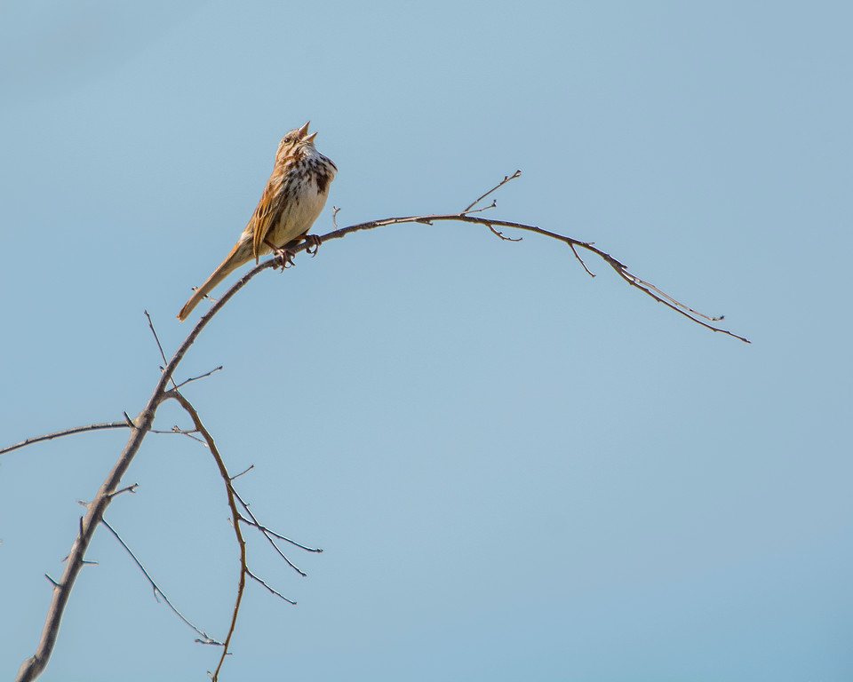 DX4982 Song Sparrow