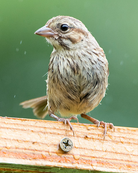 Unidentified Sparrow (likely juvenile - possibly juvenile Song Sparrow)