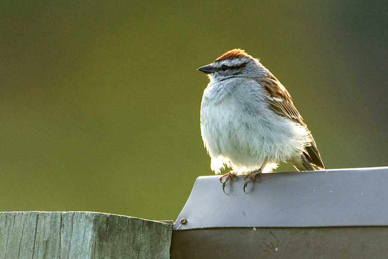 Chipping Sparrow D2168