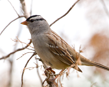 White Crowned Sparrow DSC0468 8x10