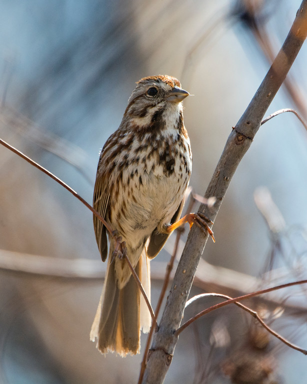 Song Sparrow DX4940