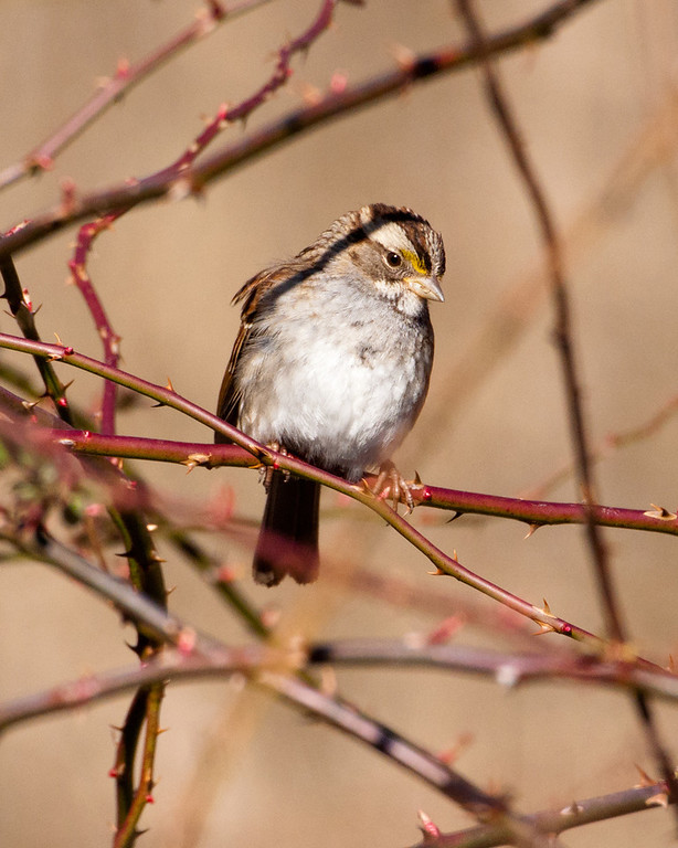 White Throated Sparrow 0517