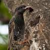 Feeding Starling
