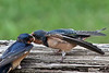 Barn Swallows<br /> The baby's mouth is something to respect!