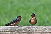 Barn Swallows (fledgling and adult)
