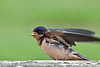 Baby Barn Swallow begging for food