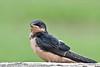 Baby Barn Swallow