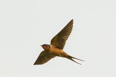 Barn Swallow, 2014