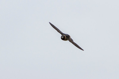 Cliff Swallow, 2013-14