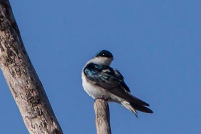 Tree Swallow, 2013