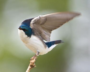 Tree Swallow D6266