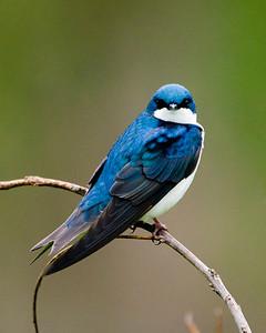 Tree Swallow 9254
