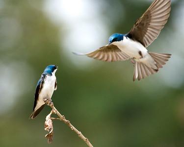 """Tree Swallows """"TreeSwallowPerch1"""""""