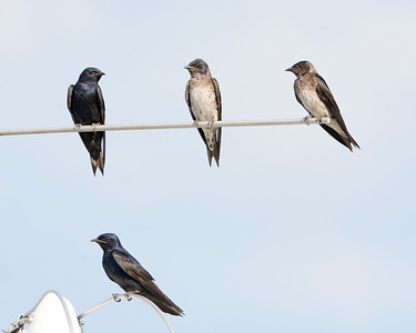 Two Male Purple Martins and Two Juvenile