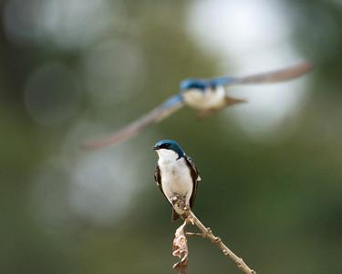 "Tree Swallows - ""Flight Dreams"""