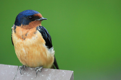 Barn Swallow seen at Ridgefield National Wildlife Refuge  Print size 5 x 7 $14.00 USD 8 x 10 $20.00 USD 8 x 12 $20.00 USD 11 x 14 $28.00 USD 12 x 18 $35.00 USD 16 x 20 $50.00 USD