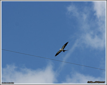 July 10,2013_IMG_8944_ Swallow-tailed Kite