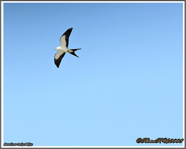 July 10,2013_IMG_8936_ Swallow-tailed Kite