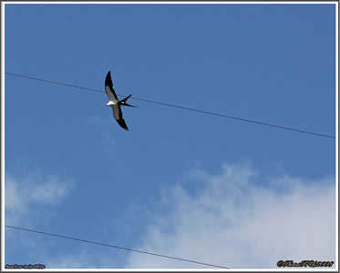 July 10,2013_IMG_8947_ Swallow-tailed Kite
