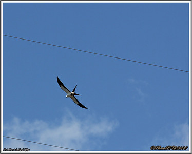 July 10,2013_IMG_8949_ Swallow-tailed Kite