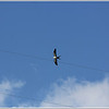 July 10,2013_IMG_8946_ Swallow-tailed Kite