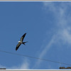 July 10,2013_IMG_8945_ Swallow-tailed Kite