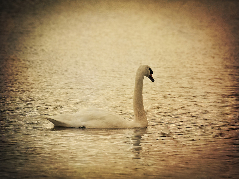 Swan at Medi-Park in Amarillo, Texas. Edited with a golden texture.  Order Code: A40