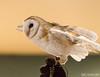 Barn Owl at ISO 12800