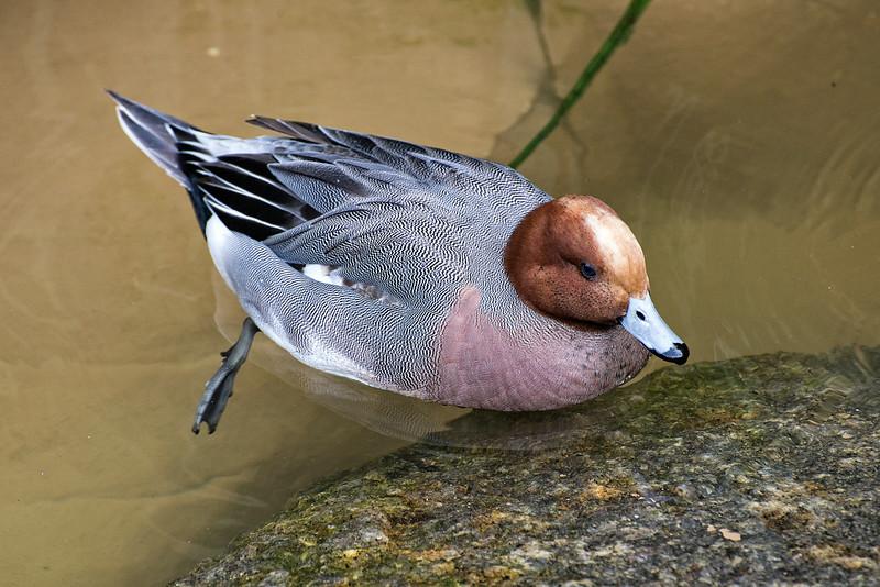 Duck#4