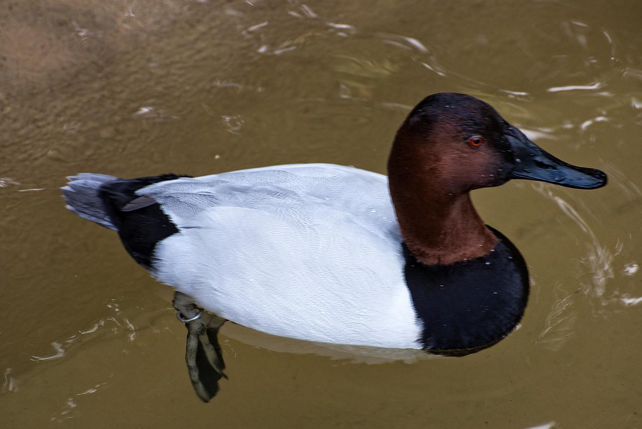 Duck#2