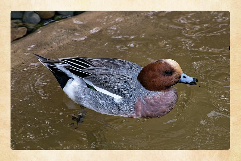 Duck boarder