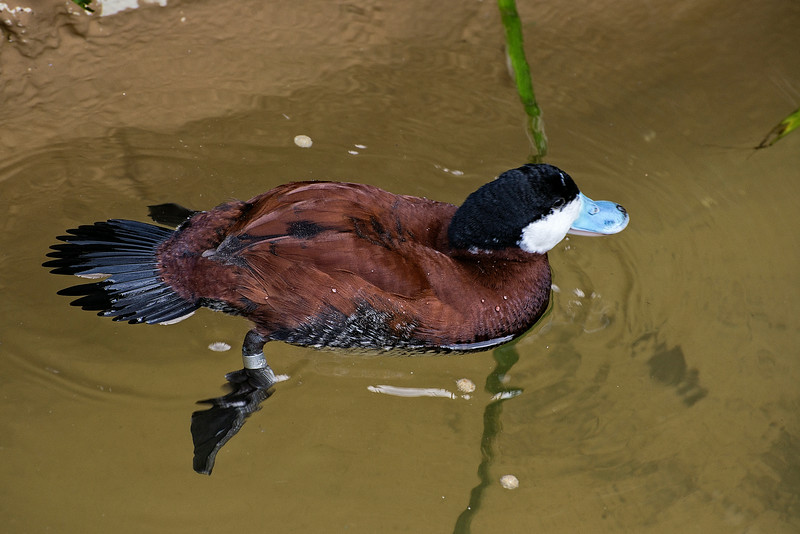 Duck#5