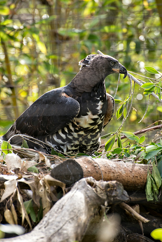 Nesting Eagle