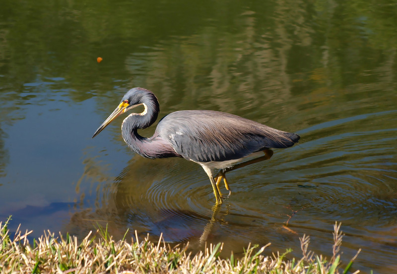 p1230419b Tricolored Heron