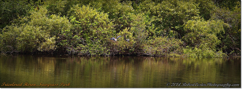 2014-06-12_IMG_1809_Tricolored Heron   Sawgrass Park,St Pete,Fl _
