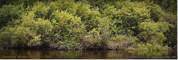 2014-06-12_IMG_1811_Tricolored Heron   Sawgrass Park,St Pete,Fl _