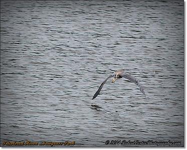 2014-06-12_IMG_1807_Tricolored Heron    Sawgrass Park,St Pete,Fl _