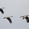 "A group of sandhill cranes seen at Ridgefield National Wildlife Refuge.  <div class=""ss-paypal-button""><br><form target=""paypal"" action=""https://www.paypal.com/cgi-bin/webscr"" method=""post"" ><input type=""hidden"" name=""cmd"" value=""_cart""><input type=""hidden"" name=""business"" value=""947PXEXBHP9H8""><input type=""hidden"" name=""lc"" value=""US""><input type=""hidden"" name=""item_name"" value=""A group of sandhill cranes seen at Ridgefield National Wildlife Refuge.""><input type=""hidden"" name=""item_number"" value=""http://www.werthwildphotography.com/Animals/Birds/Tundra-Swans/i-7f2rG24""><input type=""hidden"" name=""button_subtype"" value=""products""><input type=""hidden"" name=""no_note"" value=""0""><input type=""hidden"" name=""cn"" value=""Add special instructions to the seller:""><input type=""hidden"" name=""no_shipping"" value=""2""><input type=""hidden"" name=""currency_code"" value=""USD""><input type=""hidden"" name=""shipping"" value=""4.00""><input type=""hidden"" name=""add"" value=""1""><input type=""hidden"" name=""bn"" value=""PP-ShopCartBF:btn_cart_LG.gif:NonHosted""><table class=""printSize""><tr><td><input type=""hidden"" name=""on0"" value=""Print size"">Print size</td></tr><tr><td><select name=""os0""> <option value=""5 x 7"">5 x 7 $14.00 USD</option> <option value=""8 x 10"">8 x 10 $20.00 USD</option> <option value=""8 x 12"">8 x 12 $20.00 USD</option> <option value=""11 x 14"">11 x 14 $28.00 USD</option> <option value=""12 x 18"">12 x 18 $35.00 USD</option> <option value=""16 x 20"">16 x 20 $50.00 USD</option></select> </td></tr></table><input type=""hidden"" name=""currency_code"" value=""USD""><input type=""hidden"" name=""option_select0"" value=""5 x 7""><input type=""hidden"" name=""option_amount0"" value=""14.00""><input type=""hidden"" name=""option_select1"" value=""8 x 10""><input type=""hidden"" name=""option_amount1"" value=""20.00""><input type=""hidden"" name=""option_select2"" value=""8 x 12""><input type=""hidden"" name=""option_amount2"" value=""20.00""><input type=""hidden"" name=""option_select3"" value=""11 x 14""><input type=""hidden"" name=""option_amount3"" value=""28.00""><input type=""hidden"" name=""option_select4"" value=""12 x 18""><input type=""hidden"" name=""option_amount4"" value=""35.00""><input type=""hidden"" name=""option_select5"" value=""16 x 20""><input type=""hidden"" name=""option_amount5"" value=""50.00""><input type=""hidden"" name=""option_index"" value=""0""><input type=""image"" src=""https://www.paypalobjects.com/en_US/i/btn/btn_cart_LG.gif"" border=""0"" name=""submit"" alt=""PayPal - The safer, easier way to pay online!"" class=""btnPayPal""><img alt="""" border=""0"" src=""https://www.paypalobjects.com/en_US/i/scr/pixel.gif"" width=""1"" height=""1""></form></div><div class=""ss-paypal-button-end"" style=""display:none""></div>"