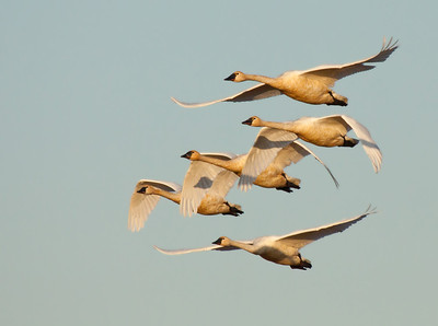 This group of tundra swans was seen in the evening light of Ridgefield National Wildlife Refuge. Group after group was seen taking flight to move on to some other waterhole for the night.  Print size 5 x 7 $14.00 USD 8 x 10 $20.00 USD 8 x 12 $20.00 USD 11 x 14 $28.00 USD 12 x 18 $35.00 USD 16 x 20 $50.00 USD