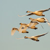 "This group of tundra swans was seen in the evening light of Ridgefield National Wildlife Refuge. Group after group was seen taking flight to move on to some other waterhole for the night.  <div class=""ss-paypal-button""><br><form target=""paypal"" action=""https://www.paypal.com/cgi-bin/webscr"" method=""post"" ><input type=""hidden"" name=""cmd"" value=""_cart""><input type=""hidden"" name=""business"" value=""947PXEXBHP9H8""><input type=""hidden"" name=""lc"" value=""US""><input type=""hidden"" name=""item_name"" value=""This group of tundra swans was seen in the evening light of Ridgefield National Wildlife Refuge. Group after group was seen taking flight to move on to some other waterhole for the night.""><input type=""hidden"" name=""item_number"" value=""http://www.werthwildphotography.com/Animals/Birds/Tundra-Swans/i-B4DDpTr""><input type=""hidden"" name=""button_subtype"" value=""products""><input type=""hidden"" name=""no_note"" value=""0""><input type=""hidden"" name=""cn"" value=""Add special instructions to the seller:""><input type=""hidden"" name=""no_shipping"" value=""2""><input type=""hidden"" name=""currency_code"" value=""USD""><input type=""hidden"" name=""shipping"" value=""4.00""><input type=""hidden"" name=""add"" value=""1""><input type=""hidden"" name=""bn"" value=""PP-ShopCartBF:btn_cart_LG.gif:NonHosted""><table class=""printSize""><tr><td><input type=""hidden"" name=""on0"" value=""Print size"">Print size</td></tr><tr><td><select name=""os0""> <option value=""5 x 7"">5 x 7 $14.00 USD</option> <option value=""8 x 10"">8 x 10 $20.00 USD</option> <option value=""8 x 12"">8 x 12 $20.00 USD</option> <option value=""11 x 14"">11 x 14 $28.00 USD</option> <option value=""12 x 18"">12 x 18 $35.00 USD</option> <option value=""16 x 20"">16 x 20 $50.00 USD</option></select> </td></tr></table><input type=""hidden"" name=""currency_code"" value=""USD""><input type=""hidden"" name=""option_select0"" value=""5 x 7""><input type=""hidden"" name=""option_amount0"" value=""14.00""><input type=""hidden"" name=""option_select1"" value=""8 x 10""><input type=""hidden"" name=""option_amount1"" value=""20.00""><input type=""hidden"" name=""option_select2"" value=""8 x 12""><input type=""hidden"" name=""option_amount2"" value=""20.00""><input type=""hidden"" name=""option_select3"" value=""11 x 14""><input type=""hidden"" name=""option_amount3"" value=""28.00""><input type=""hidden"" name=""option_select4"" value=""12 x 18""><input type=""hidden"" name=""option_amount4"" value=""35.00""><input type=""hidden"" name=""option_select5"" value=""16 x 20""><input type=""hidden"" name=""option_amount5"" value=""50.00""><input type=""hidden"" name=""option_index"" value=""0""><input type=""image"" src=""https://www.paypalobjects.com/en_US/i/btn/btn_cart_LG.gif"" border=""0"" name=""submit"" alt=""PayPal - The safer, easier way to pay online!"" class=""btnPayPal""><img alt="""" border=""0"" src=""https://www.paypalobjects.com/en_US/i/scr/pixel.gif"" width=""1"" height=""1""></form></div><div class=""ss-paypal-button-end"" style=""display:none""></div>"