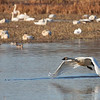 "A tundra swan taking flight at Ridgefield National Wildlife Refuge, WA.  <div class=""ss-paypal-button""><br><form target=""paypal"" action=""https://www.paypal.com/cgi-bin/webscr"" method=""post"" ><input type=""hidden"" name=""cmd"" value=""_cart""><input type=""hidden"" name=""business"" value=""947PXEXBHP9H8""><input type=""hidden"" name=""lc"" value=""US""><input type=""hidden"" name=""item_name"" value=""A tundra swan taking flight at Ridgefield National Wildlife Refuge, WA.""><input type=""hidden"" name=""item_number"" value=""http://www.werthwildphotography.com/Animals/Birds/Tundra-Swans/i-kPKhPZX""><input type=""hidden"" name=""button_subtype"" value=""products""><input type=""hidden"" name=""no_note"" value=""0""><input type=""hidden"" name=""cn"" value=""Add special instructions to the seller:""><input type=""hidden"" name=""no_shipping"" value=""2""><input type=""hidden"" name=""currency_code"" value=""USD""><input type=""hidden"" name=""shipping"" value=""4.00""><input type=""hidden"" name=""add"" value=""1""><input type=""hidden"" name=""bn"" value=""PP-ShopCartBF:btn_cart_LG.gif:NonHosted""><table class=""printSize""><tr><td><input type=""hidden"" name=""on0"" value=""Print size"">Print size</td></tr><tr><td><select name=""os0""> <option value=""5 x 7"">5 x 7 $14.00 USD</option> <option value=""8 x 10"">8 x 10 $20.00 USD</option> <option value=""8 x 12"">8 x 12 $20.00 USD</option> <option value=""11 x 14"">11 x 14 $28.00 USD</option> <option value=""12 x 18"">12 x 18 $35.00 USD</option> <option value=""16 x 20"">16 x 20 $50.00 USD</option></select> </td></tr></table><input type=""hidden"" name=""currency_code"" value=""USD""><input type=""hidden"" name=""option_select0"" value=""5 x 7""><input type=""hidden"" name=""option_amount0"" value=""14.00""><input type=""hidden"" name=""option_select1"" value=""8 x 10""><input type=""hidden"" name=""option_amount1"" value=""20.00""><input type=""hidden"" name=""option_select2"" value=""8 x 12""><input type=""hidden"" name=""option_amount2"" value=""20.00""><input type=""hidden"" name=""option_select3"" value=""11 x 14""><input type=""hidden"" name=""option_amount3"" value=""28.00""><input type=""hidden"" name=""option_select4"" value=""12 x 18""><input type=""hidden"" name=""option_amount4"" value=""35.00""><input type=""hidden"" name=""option_select5"" value=""16 x 20""><input type=""hidden"" name=""option_amount5"" value=""50.00""><input type=""hidden"" name=""option_index"" value=""0""><input type=""image"" src=""https://www.paypalobjects.com/en_US/i/btn/btn_cart_LG.gif"" border=""0"" name=""submit"" alt=""PayPal - The safer, easier way to pay online!"" class=""btnPayPal""><img alt="""" border=""0"" src=""https://www.paypalobjects.com/en_US/i/scr/pixel.gif"" width=""1"" height=""1""></form></div><div class=""ss-paypal-button-end"" style=""display:none""></div>"