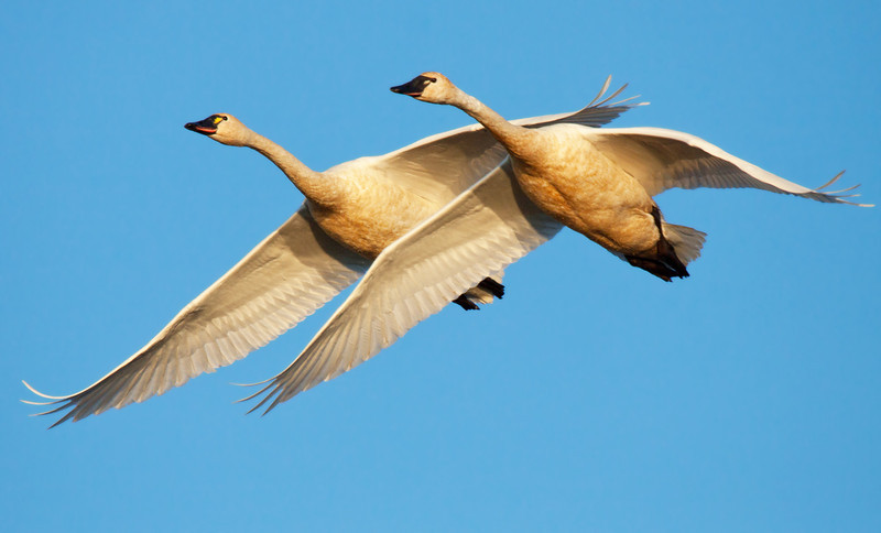 "Two tundra swans bathed in beautiful warm light seen at Ridgefield National Wildlife Refuge.  <div class=""ss-paypal-button""><br><form target=""paypal"" action=""https://www.paypal.com/cgi-bin/webscr"" method=""post"" ><input type=""hidden"" name=""cmd"" value=""_cart""><input type=""hidden"" name=""business"" value=""947PXEXBHP9H8""><input type=""hidden"" name=""lc"" value=""US""><input type=""hidden"" name=""item_name"" value=""Two tundra swans bathed in beautiful warm light seen at Ridgefield National Wildlife Refuge.""><input type=""hidden"" name=""item_number"" value=""http://www.werthwildphotography.com/Animals/Birds/Tundra-Swans/i-tx3pGft""><input type=""hidden"" name=""button_subtype"" value=""products""><input type=""hidden"" name=""no_note"" value=""0""><input type=""hidden"" name=""cn"" value=""Add special instructions to the seller:""><input type=""hidden"" name=""no_shipping"" value=""2""><input type=""hidden"" name=""currency_code"" value=""USD""><input type=""hidden"" name=""shipping"" value=""4.00""><input type=""hidden"" name=""add"" value=""1""><input type=""hidden"" name=""bn"" value=""PP-ShopCartBF:btn_cart_LG.gif:NonHosted""><table class=""printSize""><tr><td><input type=""hidden"" name=""on0"" value=""Print size"">Print size</td></tr><tr><td><select name=""os0""> <option value=""5 x 7"">5 x 7 $14.00 USD</option> <option value=""8 x 10"">8 x 10 $20.00 USD</option> <option value=""8 x 12"">8 x 12 $20.00 USD</option> <option value=""11 x 14"">11 x 14 $28.00 USD</option> <option value=""12 x 18"">12 x 18 $35.00 USD</option> <option value=""16 x 20"">16 x 20 $50.00 USD</option></select> </td></tr></table><input type=""hidden"" name=""currency_code"" value=""USD""><input type=""hidden"" name=""option_select0"" value=""5 x 7""><input type=""hidden"" name=""option_amount0"" value=""14.00""><input type=""hidden"" name=""option_select1"" value=""8 x 10""><input type=""hidden"" name=""option_amount1"" value=""20.00""><input type=""hidden"" name=""option_select2"" value=""8 x 12""><input type=""hidden"" name=""option_amount2"" value=""20.00""><input type=""hidden"" name=""option_select3"" value=""11 x 14""><input type=""hidden"" name=""option_amount3"" value=""28.00""><input type=""hidden"" name=""option_select4"" value=""12 x 18""><input type=""hidden"" name=""option_amount4"" value=""35.00""><input type=""hidden"" name=""option_select5"" value=""16 x 20""><input type=""hidden"" name=""option_amount5"" value=""50.00""><input type=""hidden"" name=""option_index"" value=""0""><input type=""image"" src=""https://www.paypalobjects.com/en_US/i/btn/btn_cart_LG.gif"" border=""0"" name=""submit"" alt=""PayPal - The safer, easier way to pay online!"" class=""btnPayPal""><img alt="""" border=""0"" src=""https://www.paypalobjects.com/en_US/i/scr/pixel.gif"" width=""1"" height=""1""></form></div><div class=""ss-paypal-button-end"" style=""display:none""></div>"