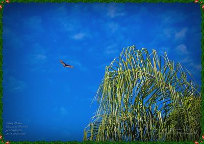 _C080011_turkey vulture