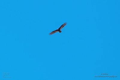 P1390267_ vulture