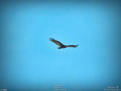 004_turkey vulture_2020-01-12
