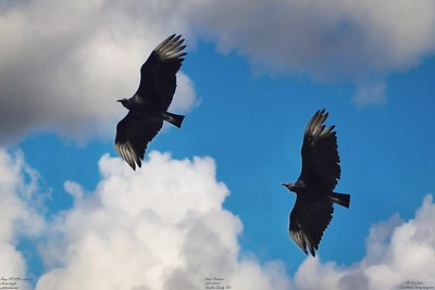 005_vultures_2021-06-04