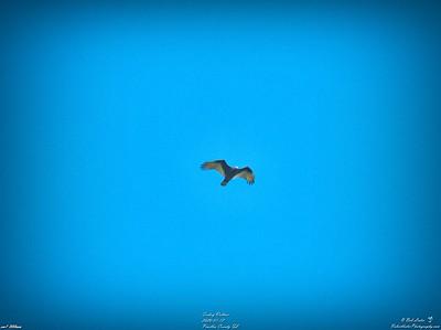 013_turkey vulture_2020-01-12